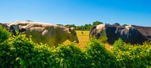 Cows In A Green Hilly Meadow Under A Blue Sky In Sunlight In Springtime, Voeren, Limburg, Belgium, June, 2021