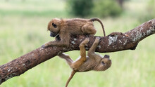 Two Young Baboons Cross Each Other By Climbing On A Thick Branch And Avoid Each Other, Tarangire National Park, Tanzania, Africa.
