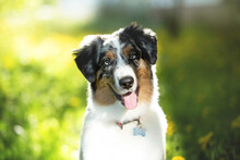 Portrait Of Adorable Australian Shepherd Dog Posing In The Park On Yellow Dandalion's And Green Tree's Background