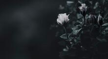 Rosenblüten Dunkel Mit Platz Für Text Panorama