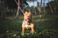American Pitbull Terrier Dog Is  Looking Up Something