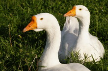 White Goose On A Green Grass