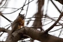 Fox Squirrel Resting In A Pecan Tree