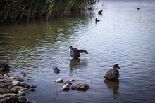 Wild Ducks Swim In The Park's Pond And Walk Along Its Shore.