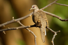 Inca Dove Or Mexican Dove - Columbina Inca Is A Small New World Dove, Gray-brown Body Covered In Feathers That Resemble A Scaled Pattern, Ranges From Costa Rica To The American Southwest.