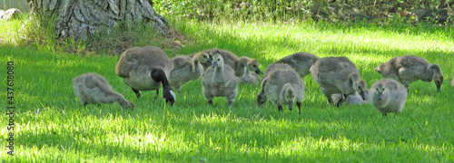 Fotografia Mother Goose and Goslings - Panoramic view of mother goose and her young feeding in the grass on the river bank