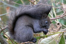 Squirrel Blacky Eating