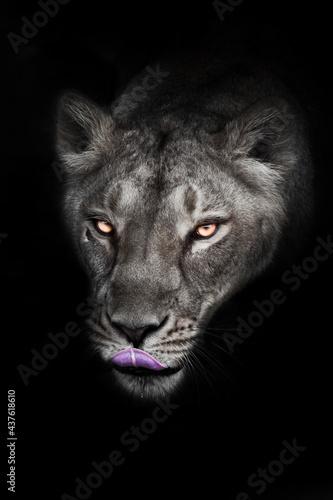 Fotografia Lunar ash gray head of greedy licking lioness
