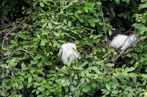 Fotografia 鋭い目つきで周囲を警戒するコサギの雛