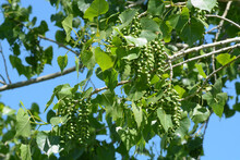 Early Summer Eastern Cottonwood Tree Or Leaves And Seed Capsules Against Blue Sky