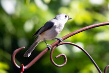Adult Tufted Titmouse Baeolophus Bicolor Sitting In Sun On Metal Wire