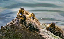 Flock Of Ducklings On A Stone