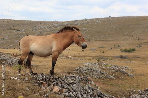 Petit cheval sauvage et primitif de przewalski #437656875