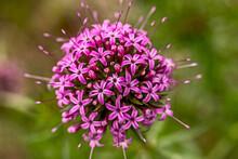 Petites Boule De Fleurs Violettes En Gros Plan