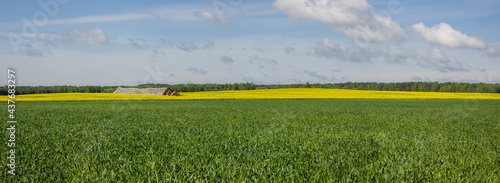 Canvastavla Spring landscape: A green field with shoots, and on the horizon is a yellow field of blooming rapeseed and last year's haystack against a blue sky with white clouds