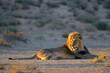 Leinwandbild Motiv Big male African lion (Panthera leo) resting in early morning light, Kalahari desert, South Africa.