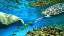 Sea Cow And Turtle Swim Underwater