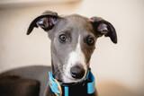 Fototapeta Zwierzęta - whippet, pies, zwierzę, rasowy, z rodowodem, szczeniak