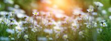 Daisy Flower In Meadow In The Sun
