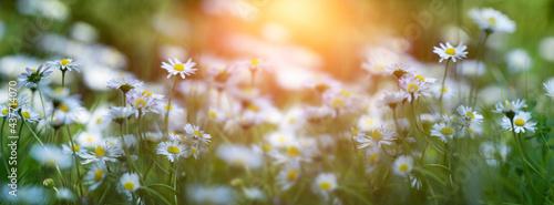 Fényképezés daisy flower in meadow in the sun