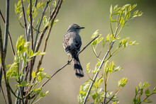 Selective Focus Shot Of A Mockingbird Perched On A Branch