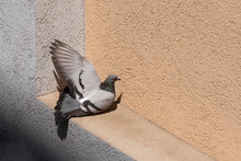 Pigeon Resting In A Summer Sunny Day, Spreading One Wing