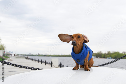 A dachshund dog sits in a blue jacket on the embankment of the river and its ears flutter in the wind Fototapet