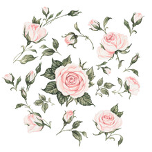 Watercolor Illustration Of A Selection Of Blooming Roses With Buds