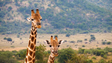 Tropical Animals In The Wild. Two Giraffes.