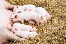 A Litter Of Pigs Sleeping And Suckling From Their Mother.