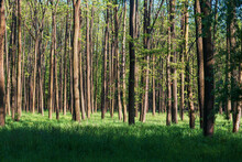 Forest With Tall Trees. There Is Green Grass Among The Trees. The Sun Shines Through The Trees And Shadows Are Visible. The Sky Is Blue.