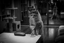 Young Maine Coon Cat With Wine Glass In Appartment Interrior