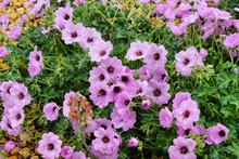 Hardy Pink Geranium Cinereum 'Ballerina' In Flower