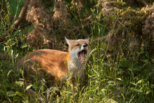 Selective Focus Shot Of An Adorable Red Fox Cub Yawning