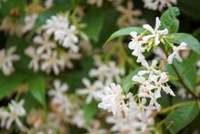 Flores Blancas De Jasmin Estrellado