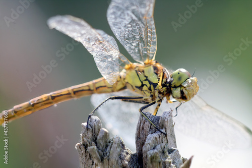 Fotografia, Obraz Macro of Sympetrum danae (black darter) dragonfly