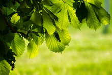 Green Chestnut Leaves Against The Backdrop Of Green Nature
