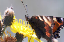 Vanessa Cardui (painted Lady) Butterfly On Yellow Flower