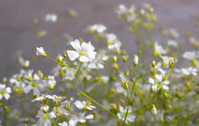 Beautiful Fragile Branch Of Tiny White Field Flowers On A Gray Blurry Background