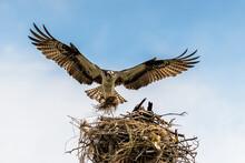 Osprey Landing In It's Nest