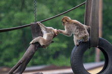 Barbary Monkeys Engage In A Zoo