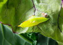 Cabbage White Butterfly Pupa On Red Russian Kale Leaf. Small Jagged Yellow Green Chrysalises In Metamorphosing Stage. Known As Cabbage Butterfly Or Pieris Rapae On Brassica. Selective Focus.