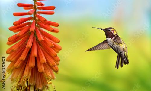 Fototapeta premium Hummingbird over bright summer background