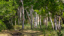 Softly Focus And Light On A Paperbark Forest