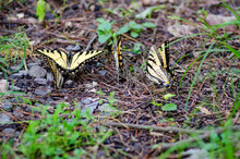 A Group Of Eastern Tiger Swallowtail Butterflies Resting On The Forest Floor At A State Park