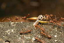 A Group Of Red Weaver Ants Carrying The Carcass Of A Dead Insect