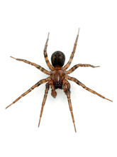 P5260008 Dorsal View Of Male Wolf Spider, Pardosa Sp., Isolated, Vertical CECP 2021
