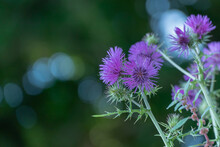 Thistle Flower On Dark Background With Bokeh Cirsium Plant