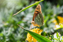 Butterfly Vanessa Cardui Sits On A Yellow Flower And Drinks Nectar With Its Proboscis. Painted Lady Butterfly.