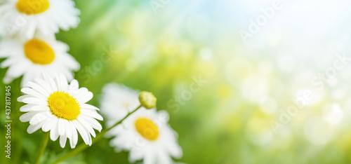 Fotografie, Obraz Spring chamomile flowers field. Sunny summer field